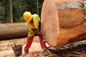 Cameroun-Augmentation des prix du bois camerounais sur le marché international