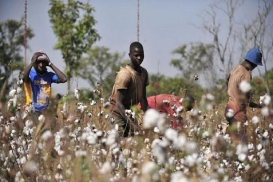 Cameroun-coton culture : La production en demi-teinte