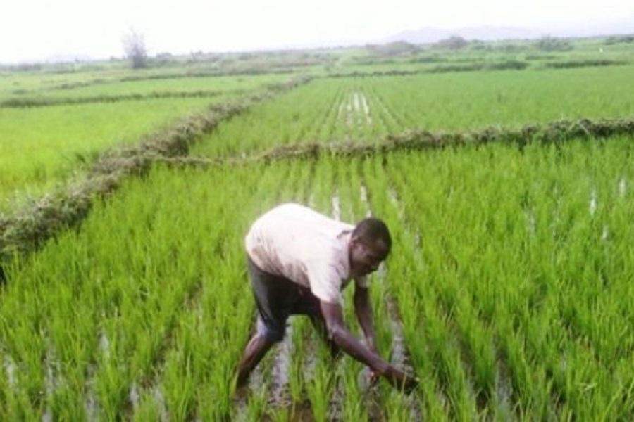 Cameroun-riziculture : des chiffres satisfaisants à noter